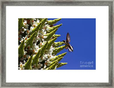 Andean Hillstar Hummingbird Feeding On Puya Raimondii Flowers Framed Print by James Brunker