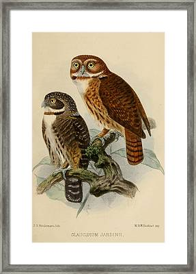 Andean Pygmy Owl Framed Print by Rob Dreyer