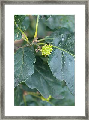 Andricus Quercusradicis Framed Print by Science Photo Library