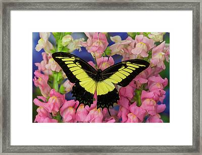 Androgeus Swallowtail, Queen Page Or Framed Print by Darrell Gulin