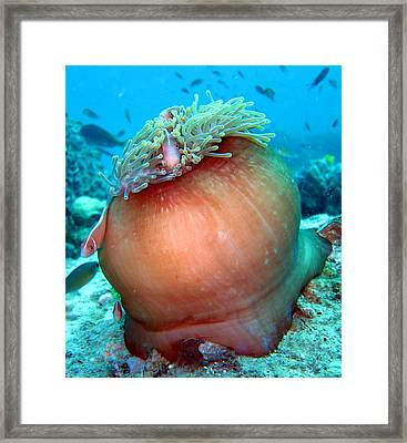 Anemone And Pink Anemonefish Framed Print by Laura Hiesinger