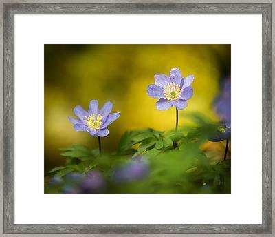 Anemone Beauty Framed Print