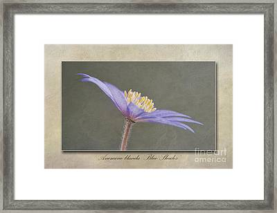 Anemone Blanda Blue Shades Framed Print by John Edwards