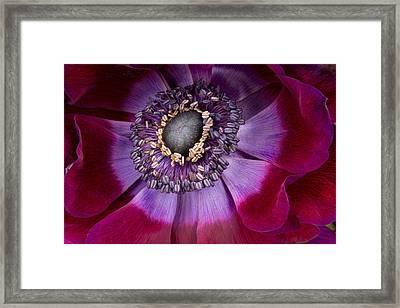 Anemone Coronaria  Macro Framed Print by Ann Garrett