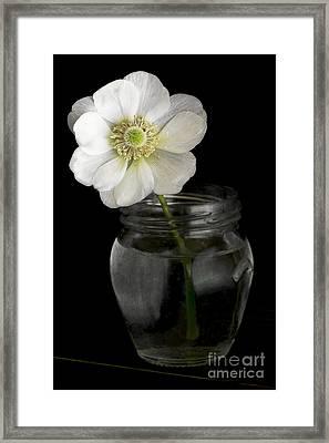 Anemone Framed Print by Elena Nosyreva