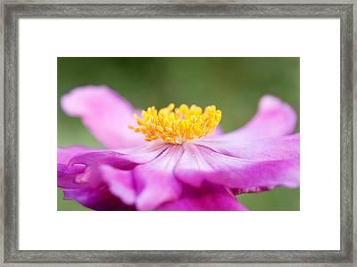 Anemone Flower Close Up Framed Print by Natalie Kinnear