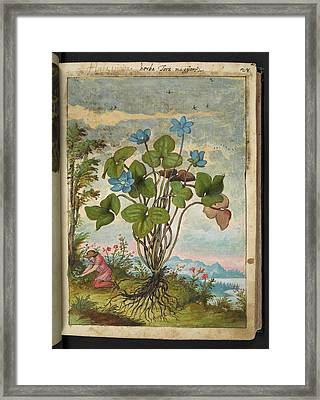 Anemone Hepatica Framed Print by British Library