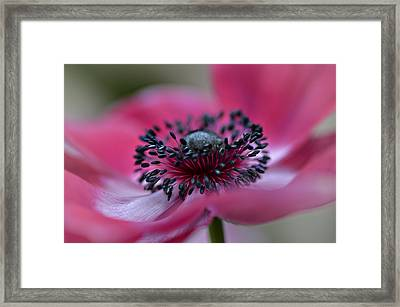 Anemone In Pink Framed Print by Julie Palencia