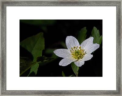 Anemone Nemorosa  By Leif Sohlman Framed Print
