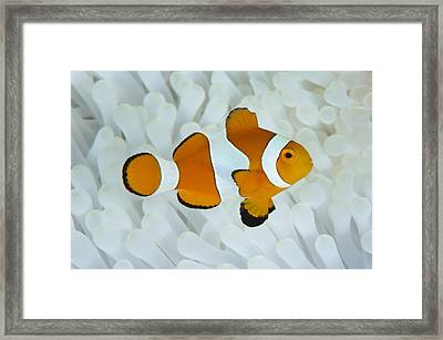 Anemonefish In Bleached Anemone Framed Print by Science Photo Library