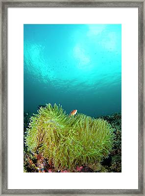 Anemonefish In Clear Calm Water Framed Print by Scubazoo