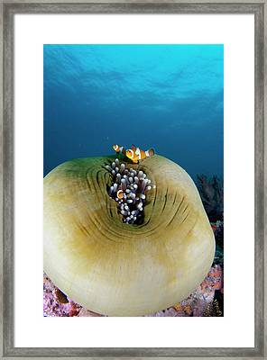 Anemonefish Sheltering In Anemone Framed Print