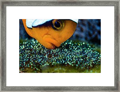 Anemonefish With Eggs, Cebu Framed Print