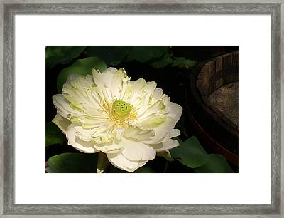 Angel Lily  Framed Print by Gregory Smith