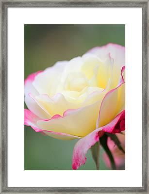 Angel Of Roses Framed Print