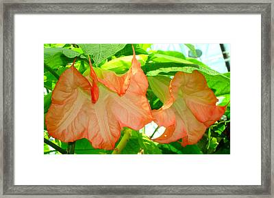 Framed Print featuring the photograph Angel Trumpet  by Kay Gilley