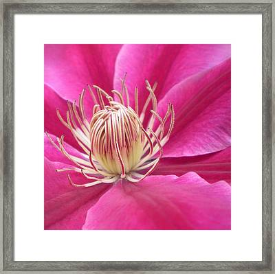 Angela Clematis Macro Fine Art Print Framed Print by Penny Hunt