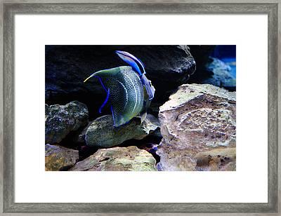 Angelfish Framed Print by Aidan Moran