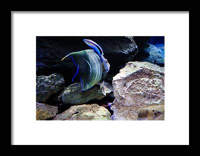 Anglefishes Framed Prints