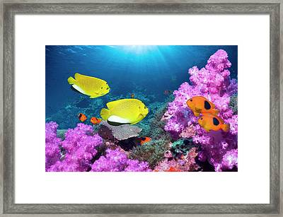 Angelfish And Anemonefish On A Reef Framed Print