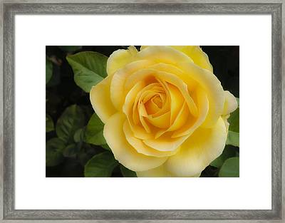 Angelic Rose Framed Print