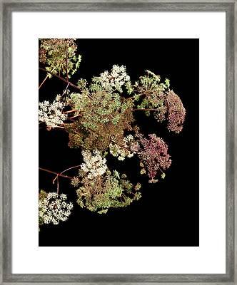 Angelica Archangelica Flowers Framed Print