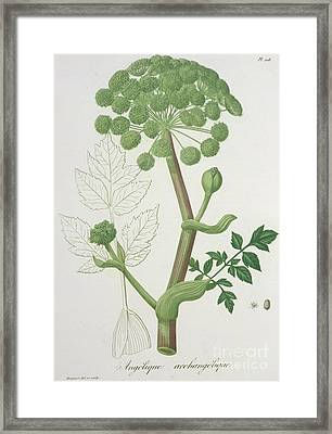 Angelica Archangelica From 'phytographie Medicale' By Joseph Roques  Framed Print by L F J Hoquart