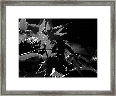 Angels Or Dragons B/w Framed Print
