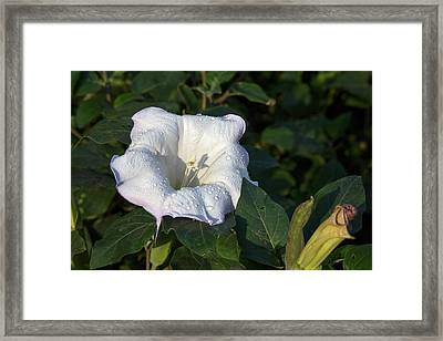Angel's Trumpet (datura Wrightii) Framed Print by Jim West