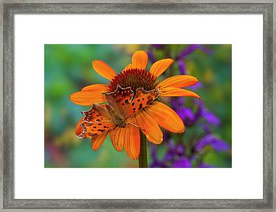 Angle Wing Butterfly On Cone Flower Framed Print