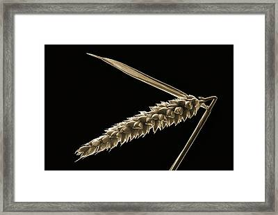 Angled Wheat Framed Print by Terence Davis