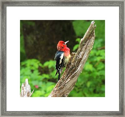 Angry Bird Framed Print by Karen Horn