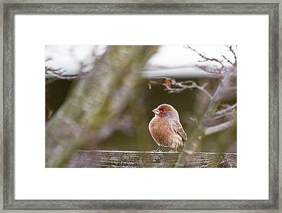 Angry Bird Framed Print by Rebecca Cozart