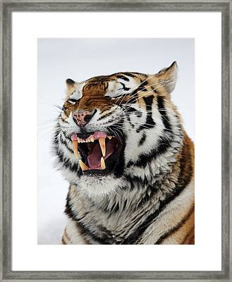 Angry Siberian Tiger Portrait Framed Print by Alex Sukonkin