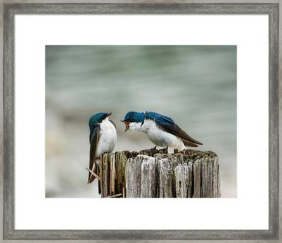 Angry Swallow Framed Print
