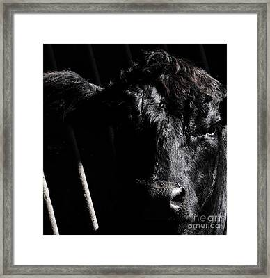 Angus Appeal Framed Print