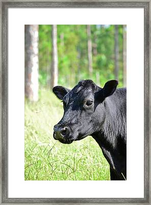 Angus Cow Framed Print by Lynda Dawson-Youngclaus