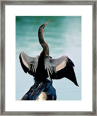 Anhinga Anhinga Anhinga Drying Feathers Framed Print