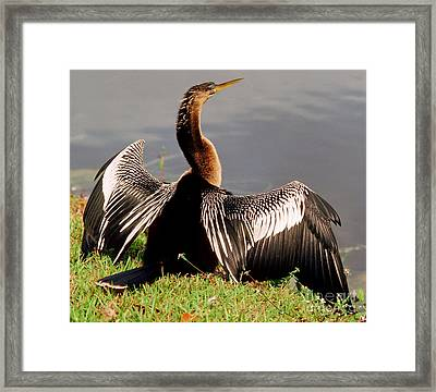 Anhinga Anhinga Anhinga Drying Plumage Framed Print by Millard H. Sharp