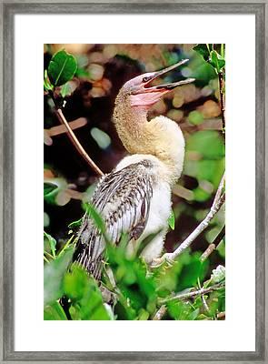 Anhinga Anhinga Anhinga Nestling Framed Print