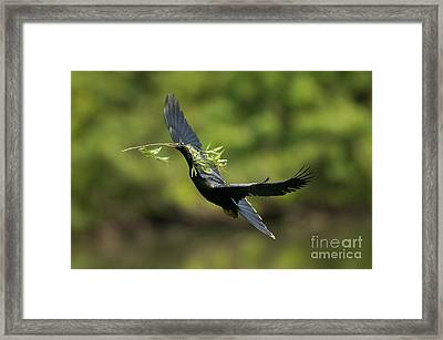 Anhinga Framed Print by Anthony Mercieca