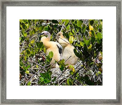 Anhinga Baby Birds Framed Print by Alan Seelye-James
