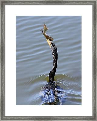 Anhinga Catch Framed Print by Rosalie Scanlon