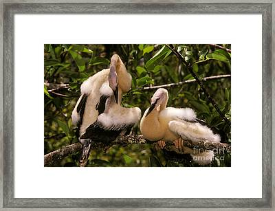 Anhinga Chicks Framed Print by Ron Sanford