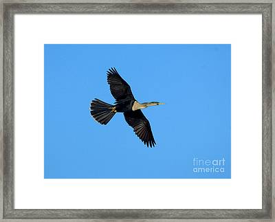 Anhinga Female Flying Framed Print by Anthony Mercieca