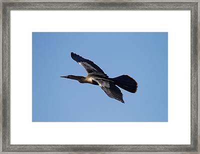Anhinga Plane Over The Blue Sky Framed Print