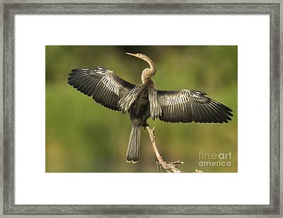 Anhinga Posing Framed Print by Kelly Morvant