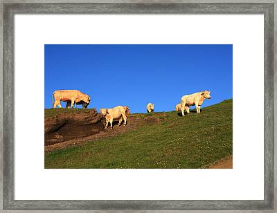 White Cows At The Cliffs Of Moher Framed Print by Aidan Moran