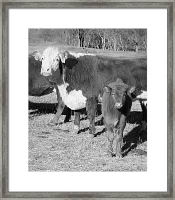 Animals Cows The Curious Calf Black And White Photography Framed Print by Ann Powell