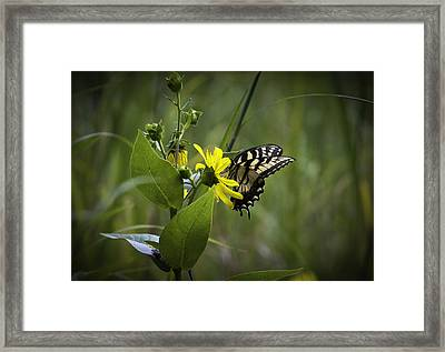 Anise Swallowtail 001 Framed Print